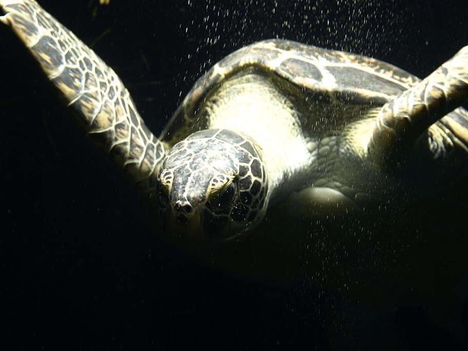 turtle (79k image)