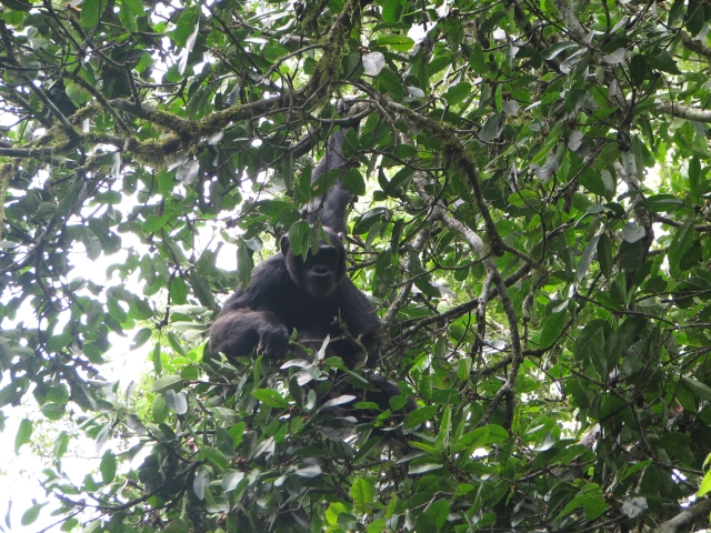 chimp (337k image)